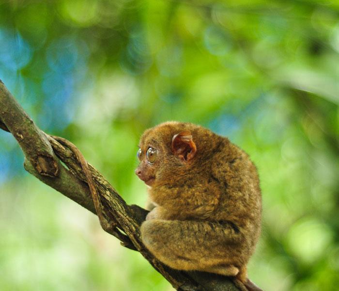 på filippinerne findes et af verdens mest sjældne dyr. desværre er den en af verdens mest udrydningstruede dyr. kom forbi og se den med time to travel på din rejse til bohol