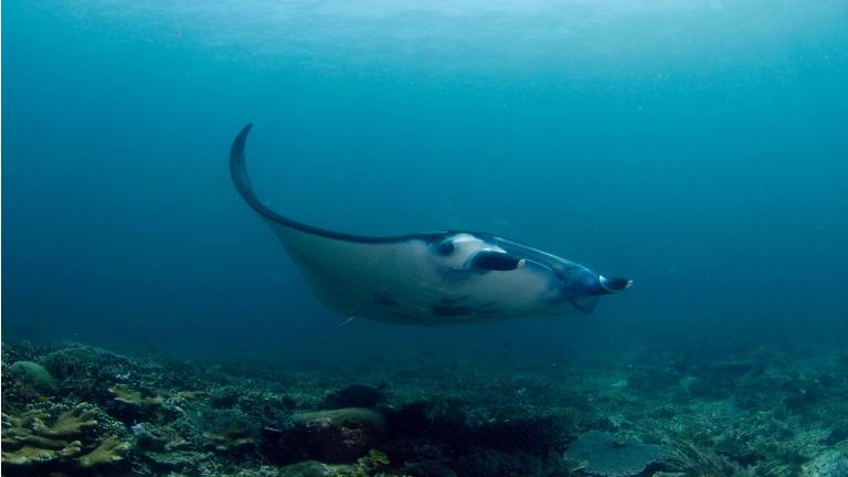 manta rays er at finde på tical island hvor vi både tilbyder beach front hytter og bungalows på stranden og homestay oplevelser