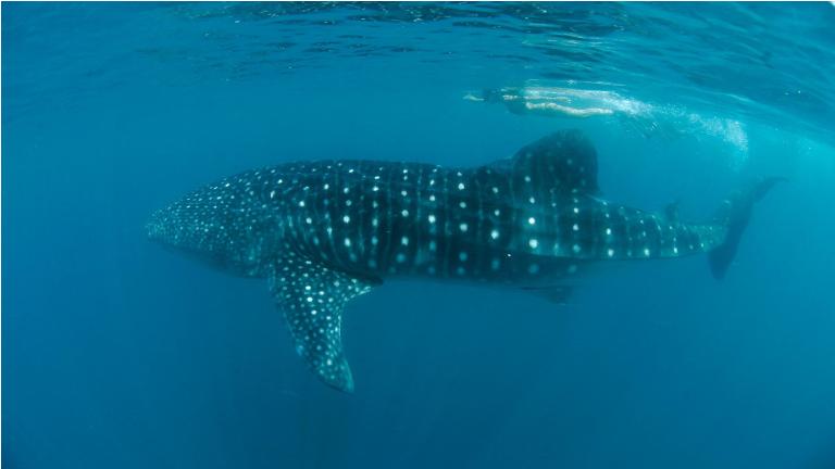 svøm med hvalhajer i Donsol. på dyrenes betingelser. Sig nej til Oslob