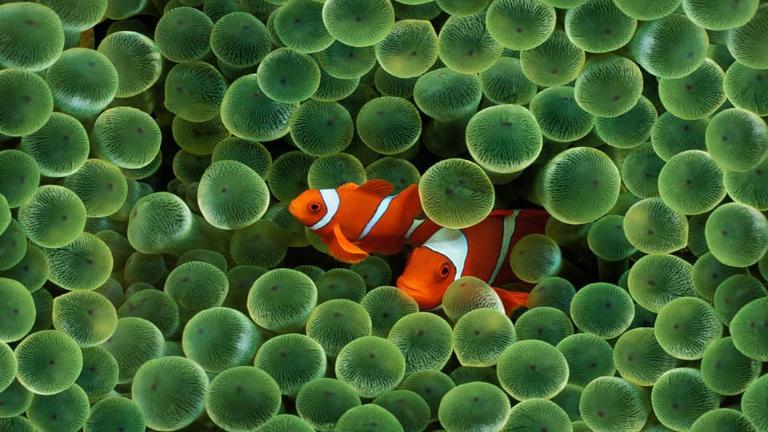 filippinerne er lige midt i koraltrekanten. snorkling og dykkerforholdene er fantastiske på filippinerne. verdens bedste dykning