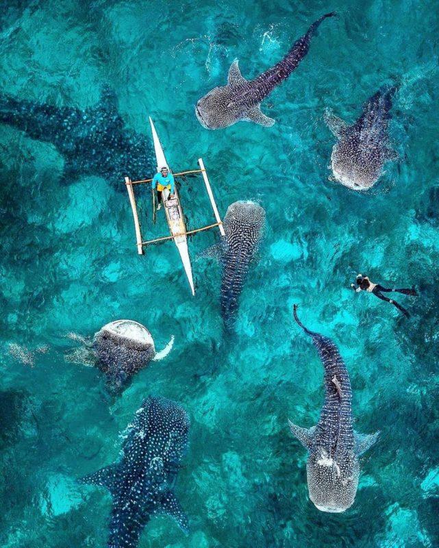 du bør holde dig langt væk fra oslob hvor hvalhajer er fanget i en turistfælde og hver dag misbruges af tusindevis af turister