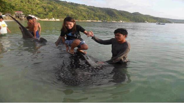 du bør ikke besøge oslob whale shark interaction
