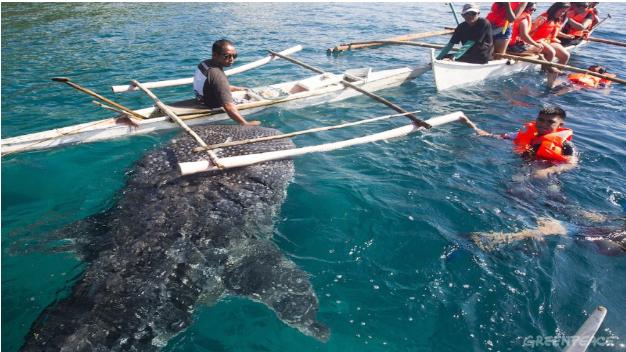 en mand fodrer hvalhajerne i oslob tæt på cebu. turisterne står klar!