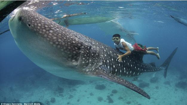 en guide viser hvordan han kan komme helt tæt og på en hvalhaj. han kan redde på ryggen af hvalhajen